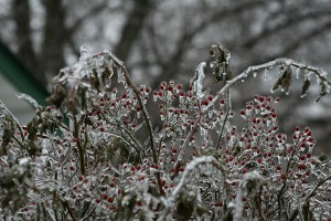 Trees and bushes are covered by ice during major storm over the weekend. Photo by Michele Washburn